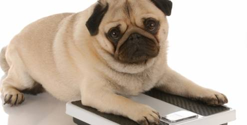 Animais obesos como cuidar